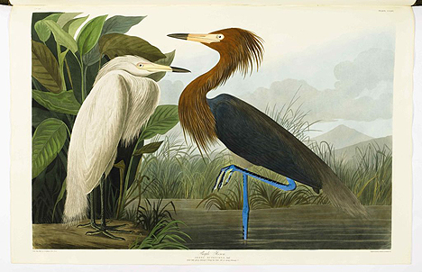 Purple Heron, one of the fabulous plates from the book